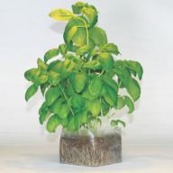 Moestuintje basilicum